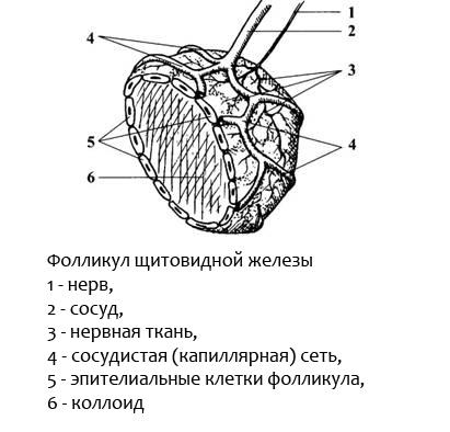 филликул щитовидной железы